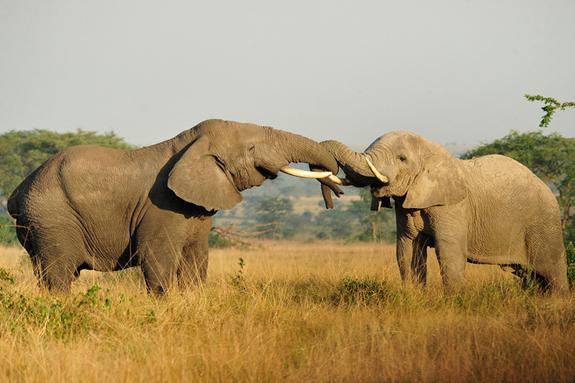 african-elephants-wild-larsen-maher